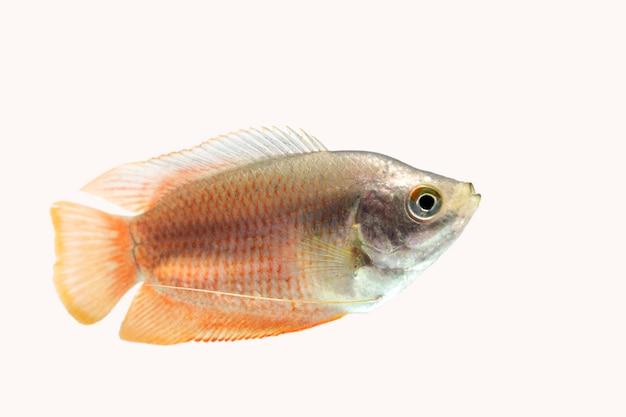 Peixe gourami anão em fundo branco