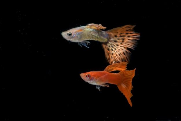 Peixe guppy colorido em preto