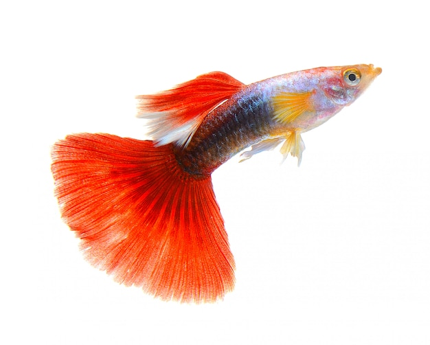 Peixe guppy isolado no espaço em branco
