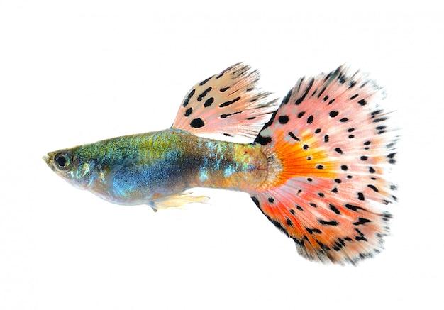Peixe guppy isolado no espaço preto