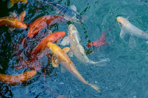 Peixe imperial de ouro e vermelho na água