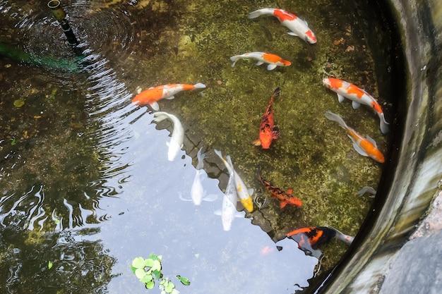 Peixe koi colorido na lagoa de peixes, lagostas