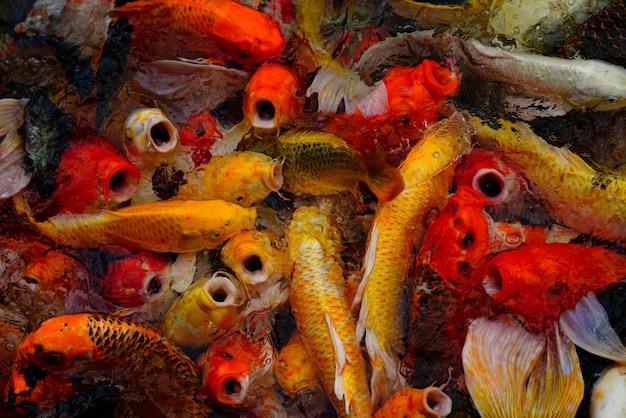 Peixe koi colorido