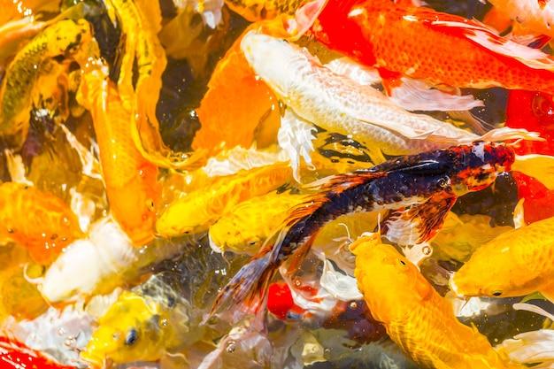 Peixe koi nadando belas variações de cor natural orgânico