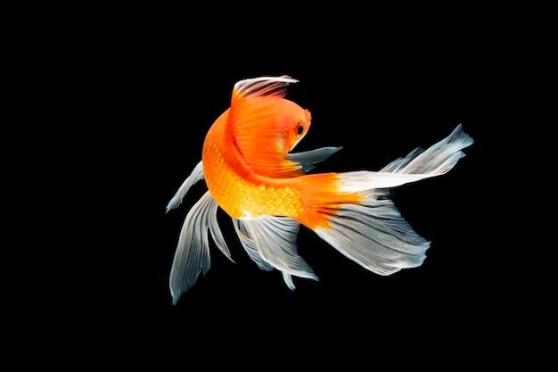 Peixe koi nadando em fundo preto