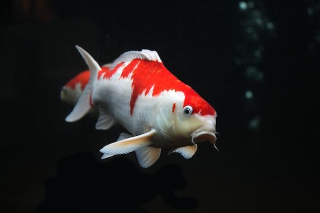 Peixe koi vermelho branco isolado em fundo preto