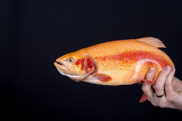 Peixe laranja na mão sobre o fundo preto