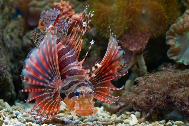 Peixe-leão anão felpudo nos recifes de coral
