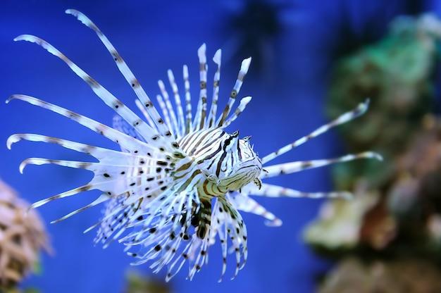Peixe-leão comum (pterois volitans) nadando acima dos recifes de coral