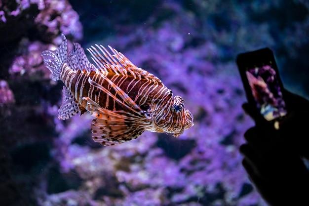 Peixe-leão na água