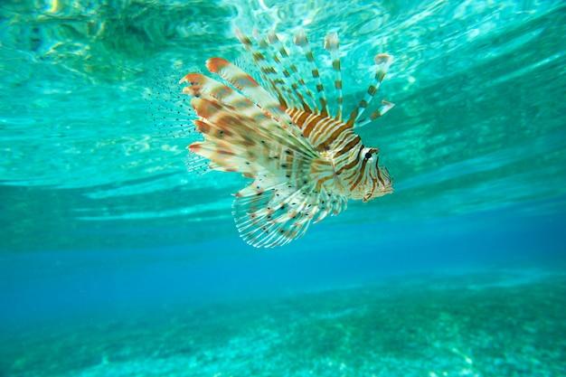 Peixe-leão nadando debaixo d'água
