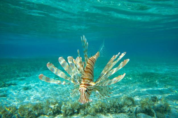 Peixe-leão nadando embaixo d'água