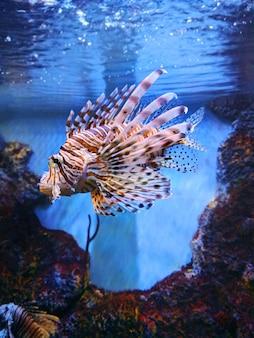 Peixe leão no aquário