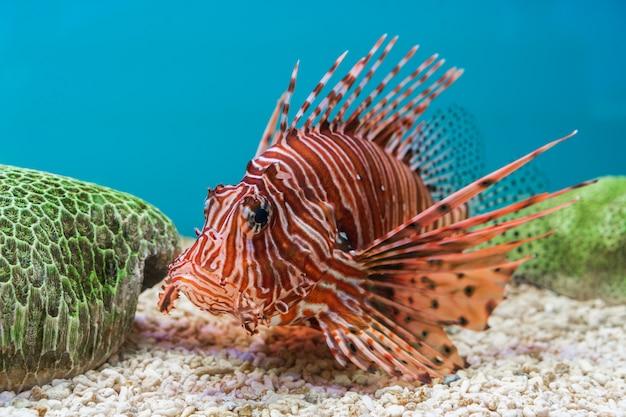 Peixe-leão (pterois volitans)