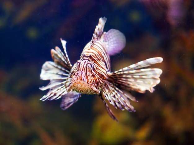 Peixe-leão vermelho na água do mar