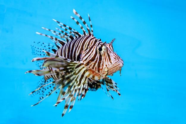 Peixe-leão vermelho na água sobre fundo azul