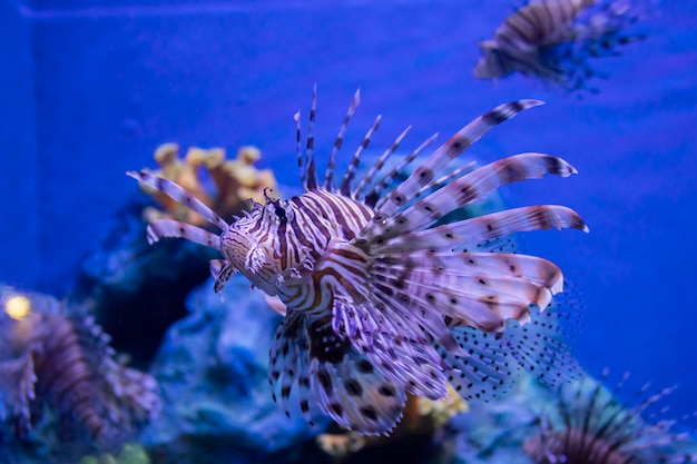 Peixe-leão vermelho nadando em um grande aquário