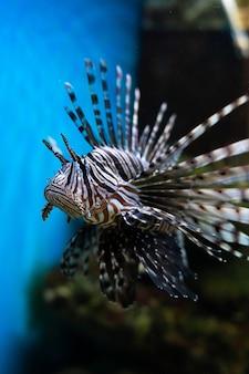 Peixe-leão vermelho pterois volitans peixe de aquário um peixe venenoso de recife de coral