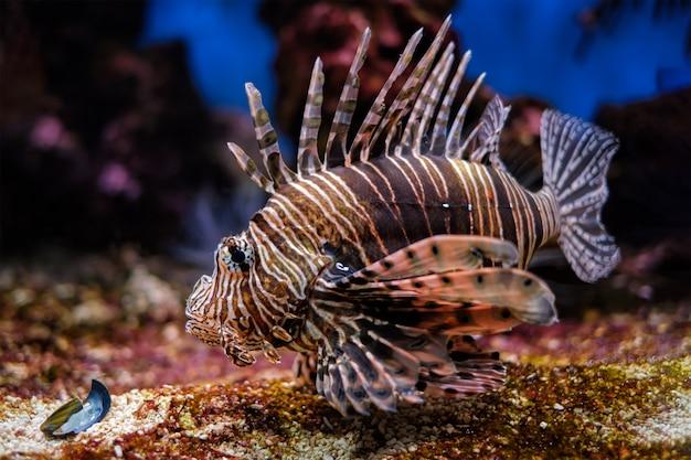 Peixe-leão vermelho pterois volitans peixes subaquáticos