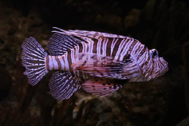 Peixe-leão-vermelho (pterois volitans)