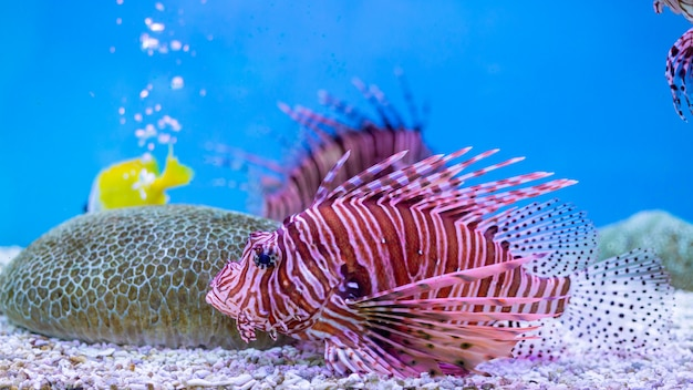 Peixe-leão vermelho - um dos perigosos peixes de recifes de corais no oceano da tailândia