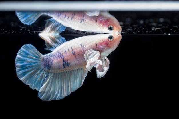 Peixe lutador (betta splendens) peixe com um belo arranjo
