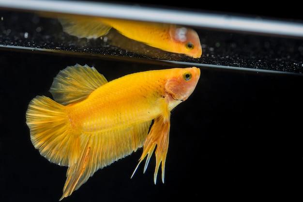 Peixe lutador (betta splendens) peixe com uma bela