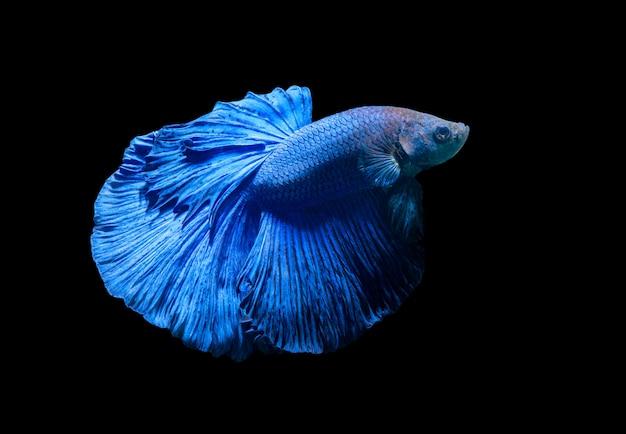 Peixe-lutador siamês azul, betta splendens isolado