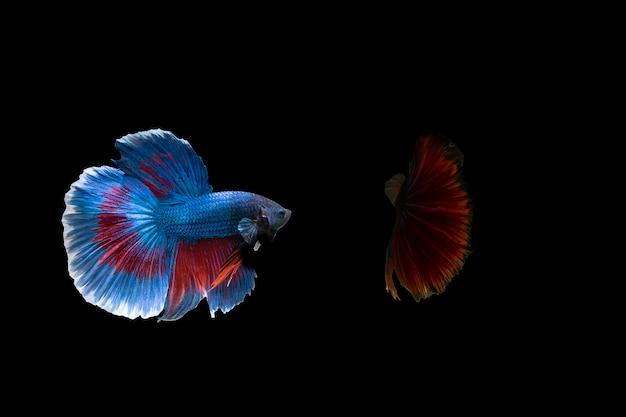 Peixe-lutador-siamês (betta) isolado no fundo preto com traçado de recorte
