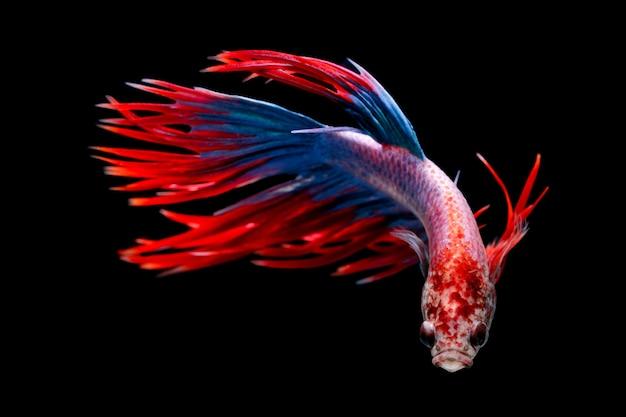 Peixe-lutador-siamês, betta splendens, tailândia blur