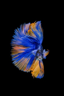 Peixe-lutador-siamês em fundo preto