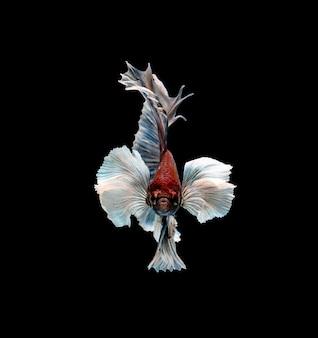Peixe-lutador-siamês em movimento isolado em preto