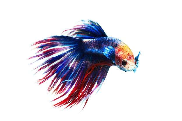 Peixe-lutador-siamês isolado no fundo branco