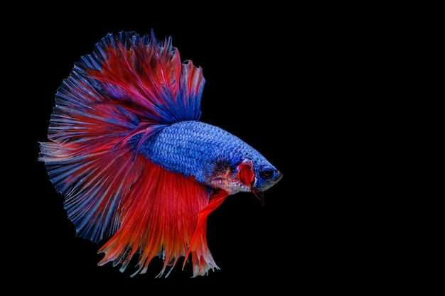 Peixe-lutador-siamês multicolorido (rosetail) (meia-lua), peixe-lutador, betta splendens