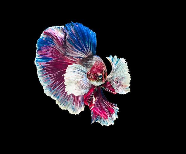 Peixe-lutador-siamês orelha grande branca, azul, vermelha e verde com a bela.