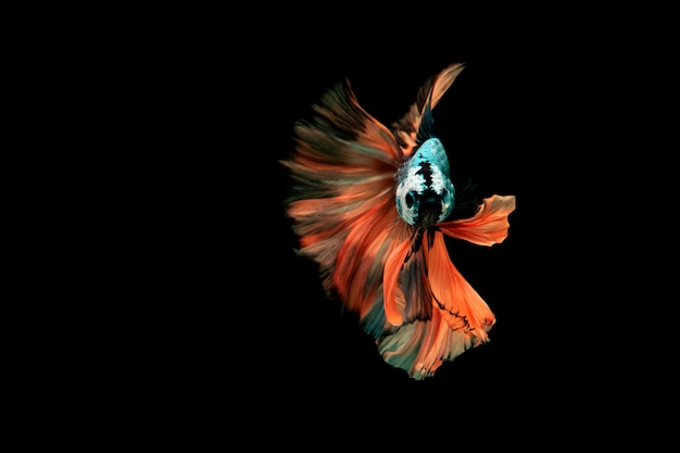 Peixe-lutador-siamês. peixes de combate de várias cores, isolados no fundo do terreno de volta.
