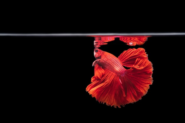 Peixe lutador siamês vermelho betta splendens, em fundo preto, betta fancy koi halfmoon plakat