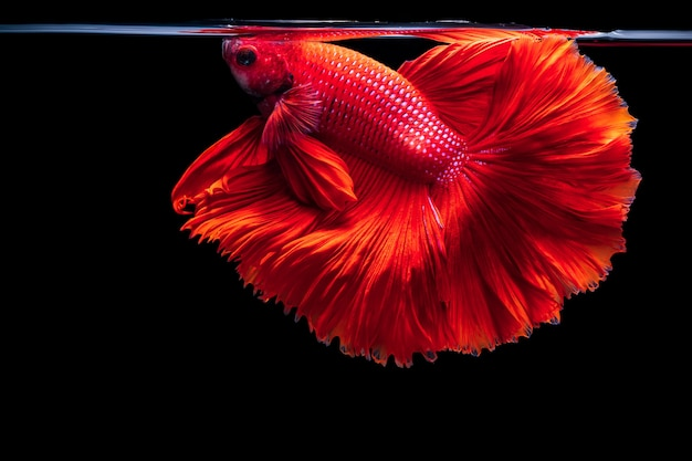Peixe lutador siamês vermelho betta splendens, em preto isolado, betta fancy koi halfmoon plakat