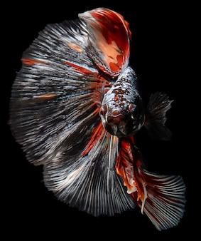 Peixe-lutador-siamês vermelho e laranja