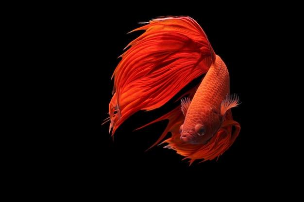 Peixe-lutador-siamês vermelho ou betta splendens fantasia de peixe em fundo preto