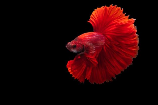 Peixe-lutador-siamês vermelho