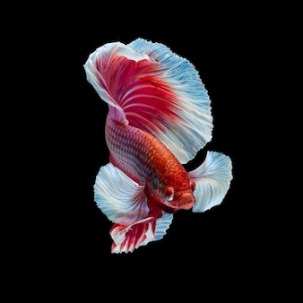 Peixe-lutador-siamês