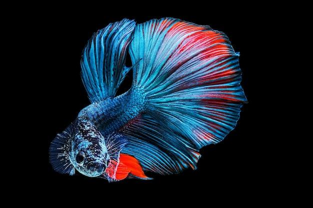 Peixe lutador siamês