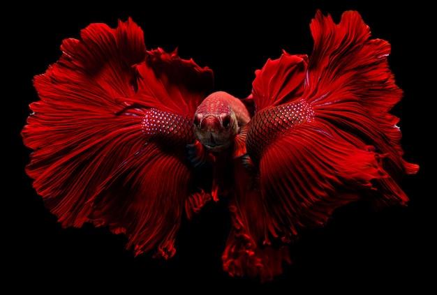 Peixe-lutador vermelho com aletas de oscilação de vibração nadando.