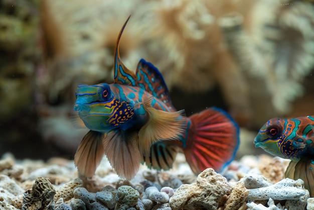 Peixe mandarim com coral