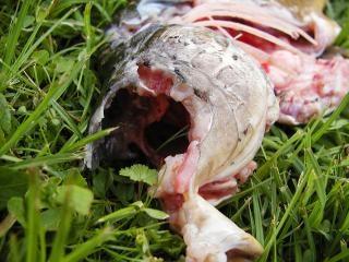 Peixe morto, carcaça, abate