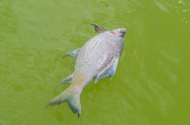 Peixe morto flutuando na água