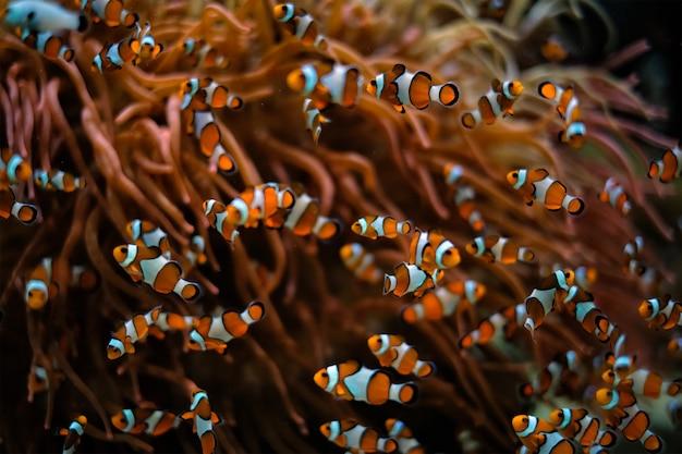 Peixe-palhaço amphiprion ocellaris