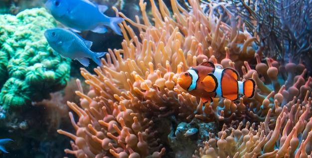 Peixe-palhaço bonito e ciclídeos azuis do malawi nadando