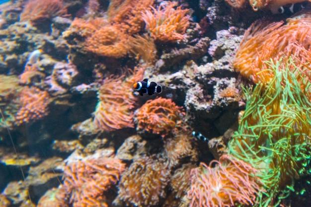 Peixe palhaço nemo em um aquário no rio de janeiro, brasil.